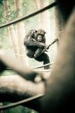 Chimpanzee on Branch Royalty Free Stock Photos