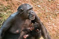 Chimpanzee breast-feeding Stock Photo