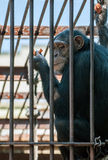 Chimpanzee in the cage Stock Image