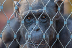 Chimpanzee in a cage. Chimpanzee loking sad behind the Stock Image