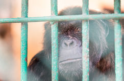 Chimpanzee in cage Royalty Free Stock Images