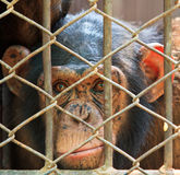 Chimpanzee in the cage Stock Photography