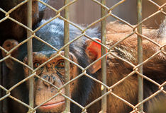 Chimpanzee in the cage Royalty Free Stock Image