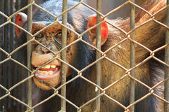 Chimpanzee in the cage Royalty Free Stock Photo