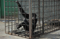 Chimpanzee in the cage Royalty Free Stock Photos