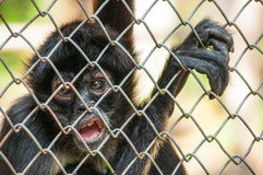 Chimpanzee in the cage Stock Images