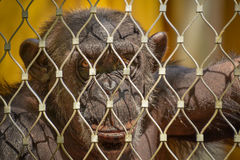 Chimpanzee in a cage Stock Photos