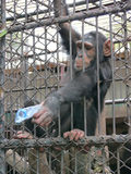 Chimpanzee. In Cage At Zoo stock image