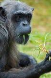 Chimpanzee Candid Shot. A closeup shot of a chimpanzee eating some grass Royalty Free Stock Photography