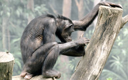 Chimpanzee in captivity Stock Photo
