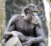 Chimpanzee in captivity Royalty Free Stock Photos
