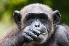 Chimpanzee in captivity Stock Photography