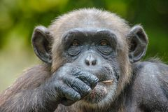 Chimpanzee in captivity Stock Image