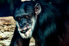 Chimpanzee with a character gaze. Shot through a window in a zoo. Crisp sharpness and details in his face Stock Images
