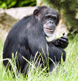 Chimpanzee at Chester Zoo Royalty Free Stock Photography