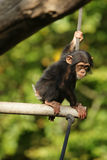 Chimpanzee child sitting. Chimpanzee youngster sitting on a branch, holding on to a rope Royalty Free Stock Image