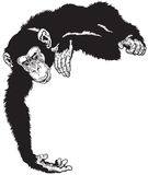 Chimpanzee. Or chimp ape, black and white image Stock Images