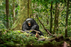Chimpanzee. Chimp screaming in front of a tree in Jungle royalty free stock photography