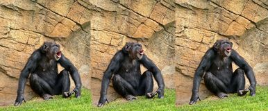 Chimpanzee. Expresions standing in the sun Royalty Free Stock Photography