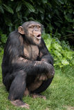 Chimpanzee. Photo taken at the local zoo royalty free stock images