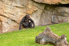 Chimpanzee. Standing on the grass Royalty Free Stock Photos