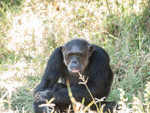 Chimpanzee. S, sometimes colloquially chimps, are two extant hominid species of apes in the genus Pan Stock Photos
