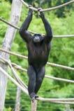 Chimpanzee climbing on a rope Stock Photography