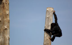 Chimpanzee. Climbing on a tree Stock Photo
