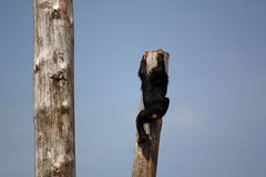 Chimpanzee. Climping on a tree Stock Image
