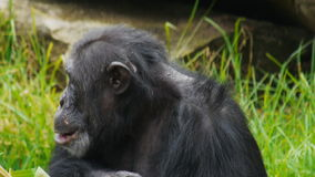 Chimpanzee stock video