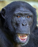 Chimpanzee. A close up of a male Chimpanzee royalty free stock image