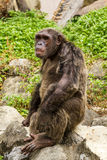 Chimpanzee. Closeup on a Chimpanzee in zoo, Thailand Royalty Free Stock Photography