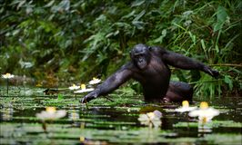 The chimpanzee collects flowers. Royalty Free Stock Photos
