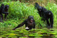 The chimpanzee collects flowers. 3 Stock Photos