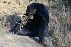 Chimpanzee in the conservancy royalty free stock photo