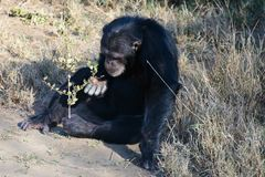Chimpanzee in the conservancy royalty free stock images