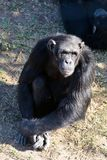 Chimpanzee in the conservancy royalty free stock image