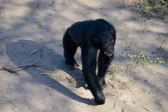 Chimpanzee in the conservancy stock photos