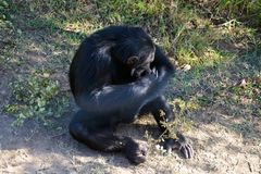 Chimpanzee in the conservancy royalty free stock photos