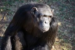 A Chimpanzee in the conservancy. A chimpanzee contemplates in the conservation area in Kenya, Africa. They are the closest relative of human being stock photos
