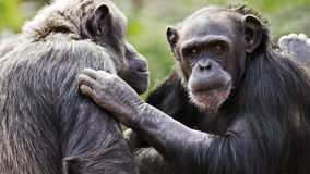 Chimpanzee conversation Royalty Free Stock Photography