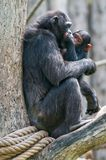 Chimpanzee with cub. Verona Italy stock photos