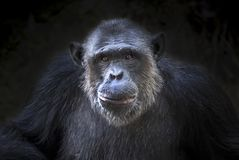 Chimpanzee cute . royalty free stock images