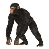 Chimpanzee. 3D digital render of a big chimpanzee isolated on white background Royalty Free Stock Photo