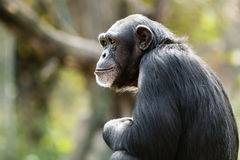 Chimpanzee Daydreaming Stock Photos