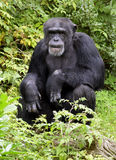 Chimpanzee deep in thought Royalty Free Stock Photos