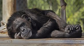 Chimpanzee Deep in Thought at Zoo Tampa at Lowry Park. A reclining chimpanzee appears to be deep in thought at Zoo Tampa at Lowry Park in Florida`s Hillsborough royalty free stock photo