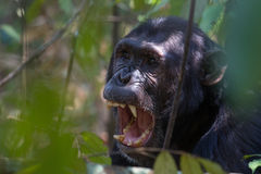 Chimpanzee displaying teeth. Eastern chimpanzee displaying his teeth while yawning Royalty Free Stock Photos