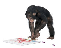 Chimpanzee drawing on a canvas. Monkey (Chimpanzee) drawing on a canvas - Simia troglodytes (5 years old) in front of a white background Royalty Free Stock Photo