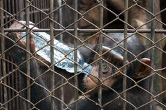 Chimpanzee drinking bottle of water in cage Stock Photo